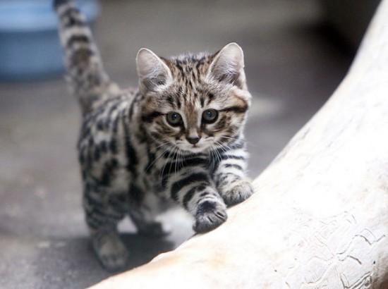 世界最小,クロアシネコ,可愛い,画像,まとめ020