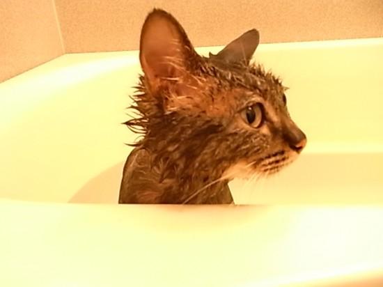 猫,湯船,可愛すぎる,お風呂,画像,まとめ031