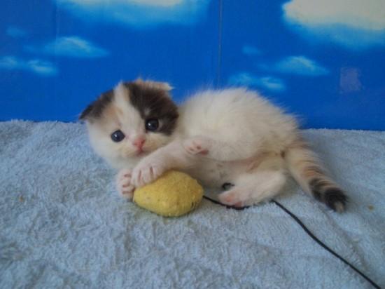 スコティッシュフォールド,可愛い,子猫.画像,まとめ059
