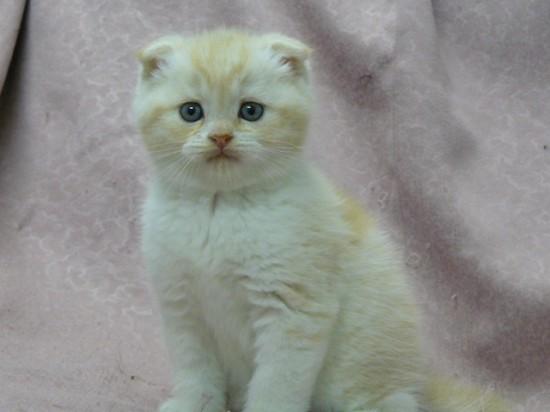 スコティッシュフォールド,可愛い,子猫.画像,まとめ067
