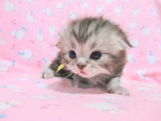 スコティッシュフォールド,可愛い,子猫.画像,まとめ097