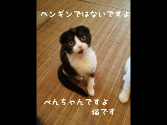 スコティッシュフォールド,可愛い,子猫.画像,まとめ124