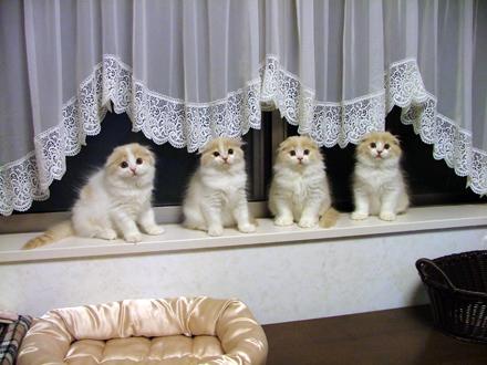 スコティッシュフォールド,可愛い,子猫.画像,まとめ149