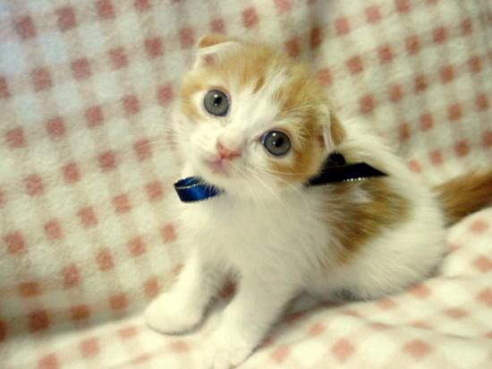 スコティッシュフォールド,可愛い,子猫.画像,まとめ165