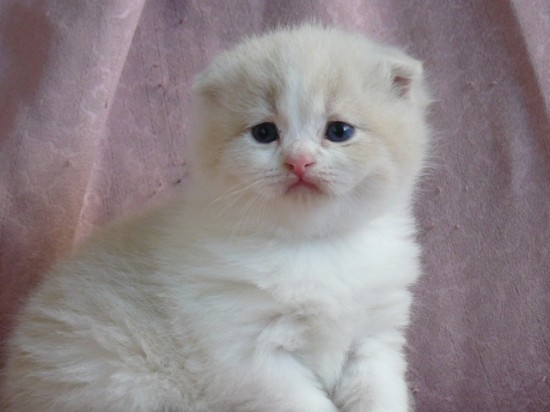 スコティッシュフォールド,可愛い,子猫.画像,まとめ200