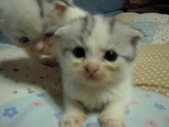 スコティッシュフォールド,可愛い,子猫.画像,まとめ204