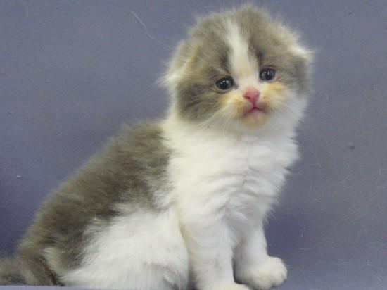 スコティッシュフォールド,可愛い,子猫.画像,まとめ254