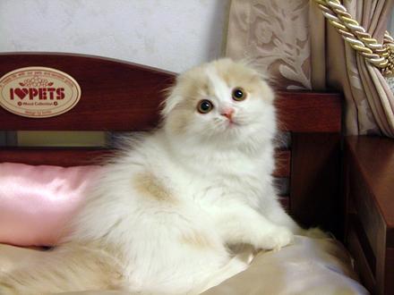スコティッシュフォールド,可愛い,子猫.画像,まとめ279