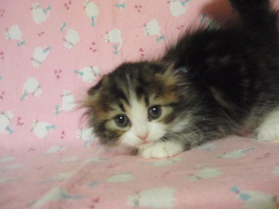 スコティッシュフォールド,可愛い,子猫.画像,まとめ280
