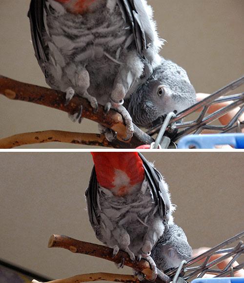 鳥,可愛すぎる,尻,ケツ,画像006