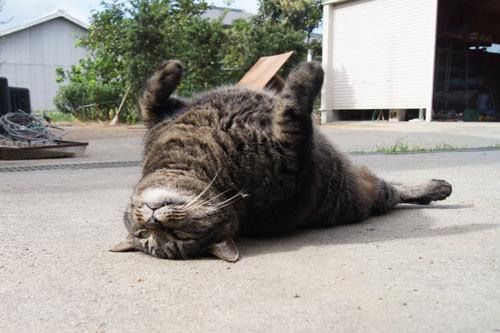 ぽっちゃり,デブ猫,画像,まとめ013