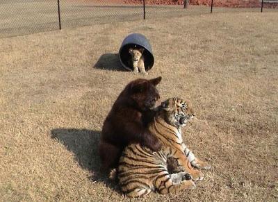 クマ,トラ,ライオン,仲良し,画像,まとめ001