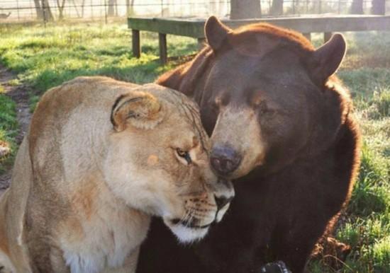 クマ,トラ,ライオン,仲良し,画像,まとめ002