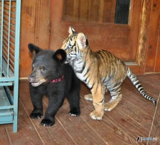 クマ,トラ,ライオン,仲良し,画像,まとめ003