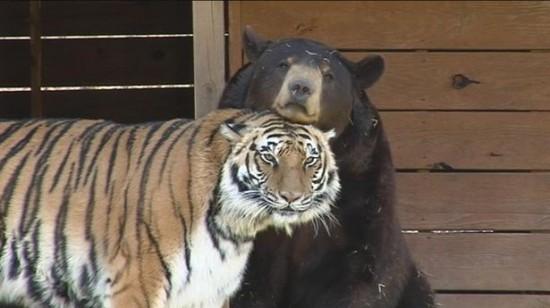 クマ,トラ,ライオン,仲良し,画像,まとめ005