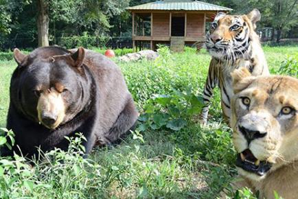クマ,トラ,ライオン,仲良し,画像,まとめ006
