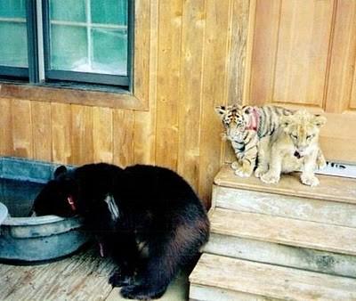 クマ,トラ,ライオン,仲良し,画像,まとめ009