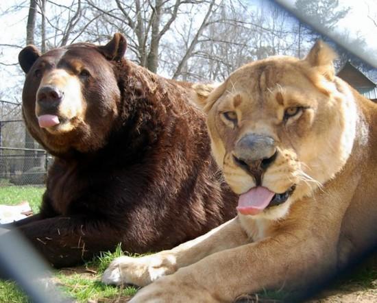 クマ,トラ,ライオン,仲良し,画像,まとめ010
