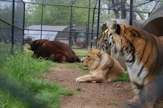 クマ,トラ,ライオン,仲良し,画像,まとめ011