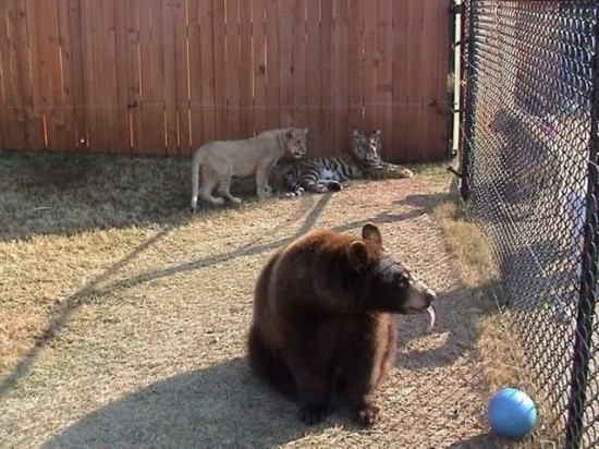 クマ,トラ,ライオン,仲良し,画像,まとめ013