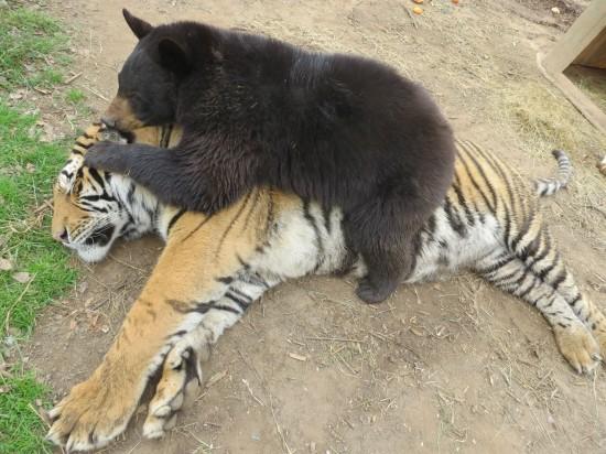 クマ,トラ,ライオン,仲良し,画像,まとめ015