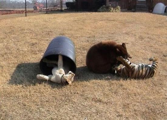 クマ,トラ,ライオン,仲良し,画像,まとめ016