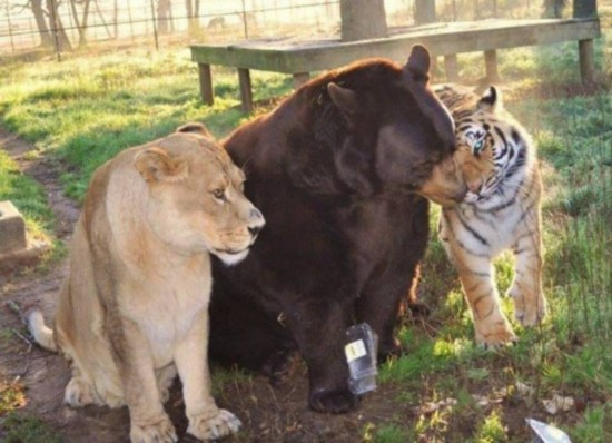 クマ,トラ,ライオン,仲良し,画像,まとめ017