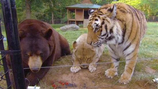 クマ,トラ,ライオン,仲良し,画像,まとめ019