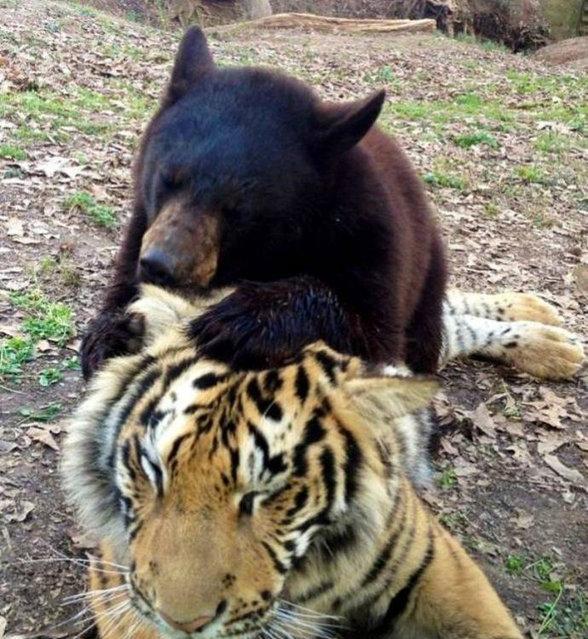 クマ,トラ,ライオン,仲良し,画像,まとめ020