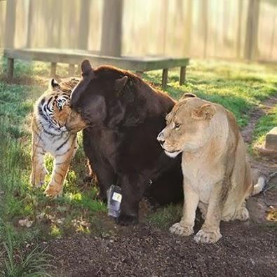 クマ,トラ,ライオン,仲良し,画像,まとめ021