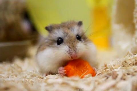 ニンジンを食べるかわいいハムスター