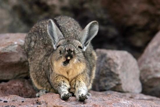 アンデスウサギ,可愛い,ビスカッチャ,画像,まとめ003