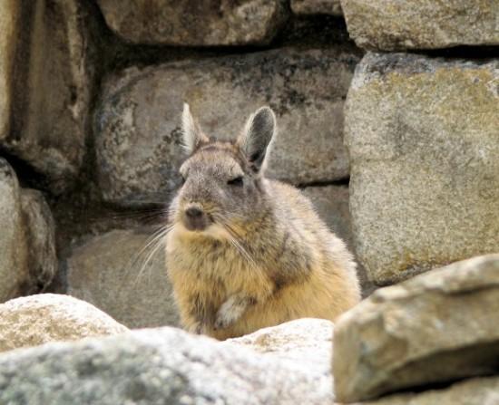 アンデスウサギ,可愛い,ビスカッチャ,画像,まとめ007