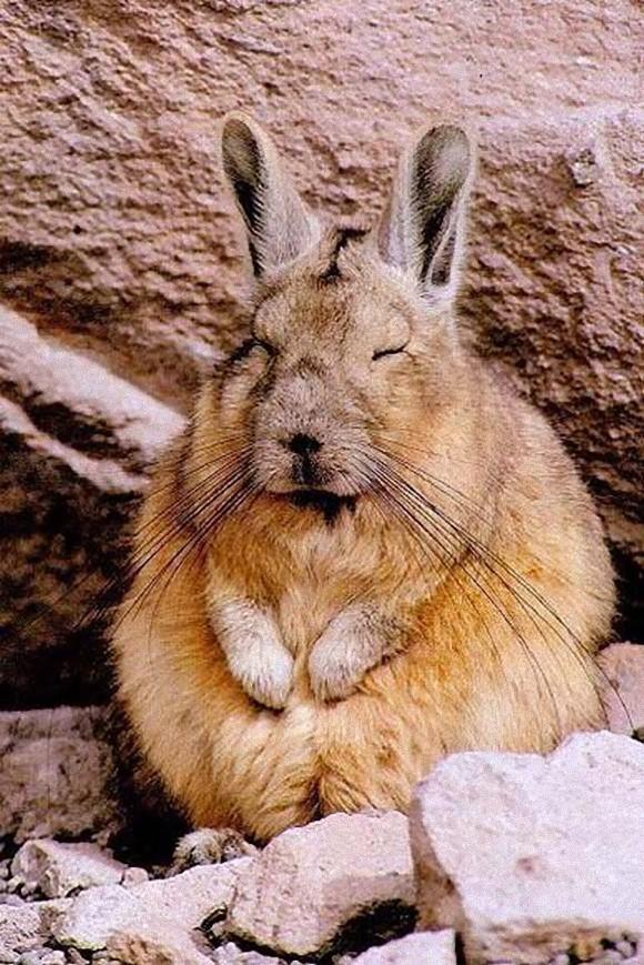 アンデスウサギ,可愛い,ビスカッチャ,画像,まとめ008