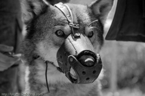 オオカミ,画像,まとめ010