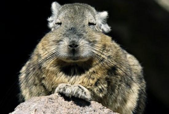 アンデスウサギ,可愛い,ビスカッチャ,画像,まとめ011