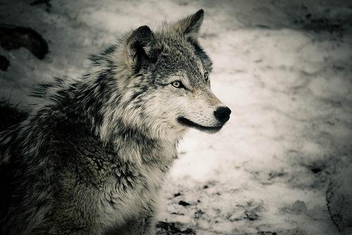 オオカミ,画像,まとめ011