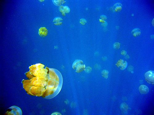幻想的,美しい,クラゲ,水母,海月,画像,まとめ012