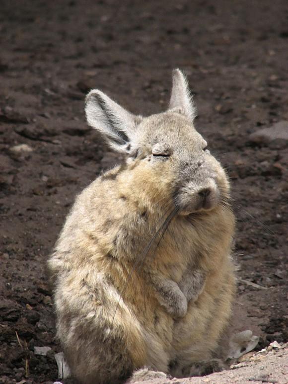 アンデスウサギ,可愛い,ビスカッチャ,画像,まとめ013