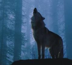 オオカミ,画像,まとめ013