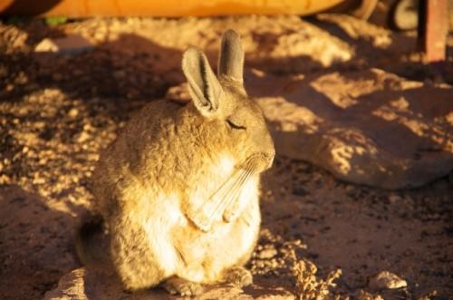 アンデスウサギ,可愛い,ビスカッチャ,画像,まとめ014