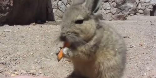 アンデスウサギ,可愛い,ビスカッチャ,画像,まとめ015