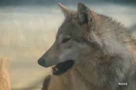 オオカミ,画像,まとめ015