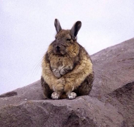 アンデスウサギ,可愛い,ビスカッチャ,画像,まとめ016