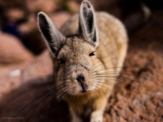 アンデスウサギ,可愛い,ビスカッチャ,画像,まとめ017