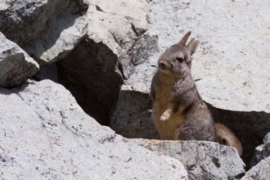 アンデスウサギ,可愛い,ビスカッチャ,画像,まとめ018