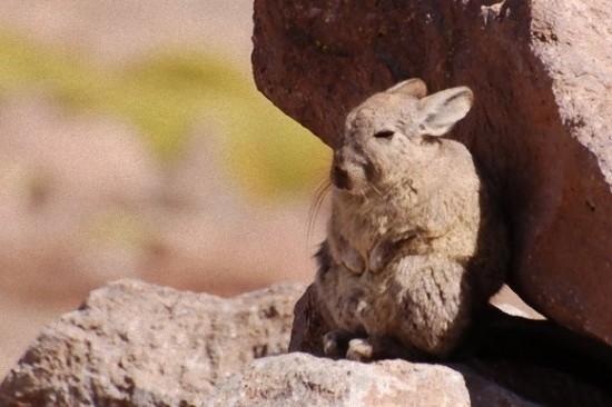 アンデスウサギ,可愛い,ビスカッチャ,画像,まとめ021