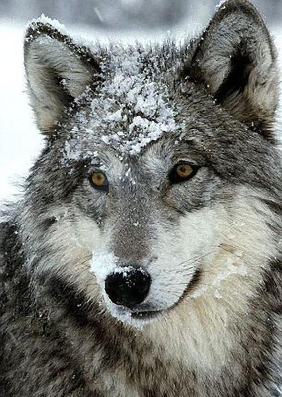 オオカミ,画像,まとめ021