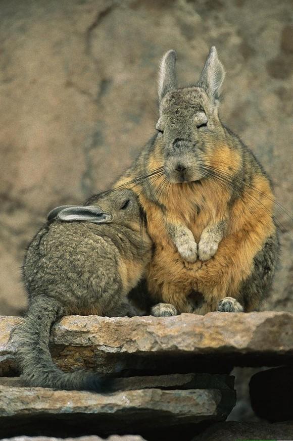 アンデスウサギ,可愛い,ビスカッチャ,画像,まとめ022