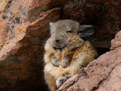 アンデスウサギ,可愛い,ビスカッチャ,画像,まとめ024